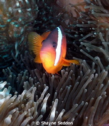 Black Anemone fish taken with a Sealife DC1200 with Fishe... by Shayne Seddon 